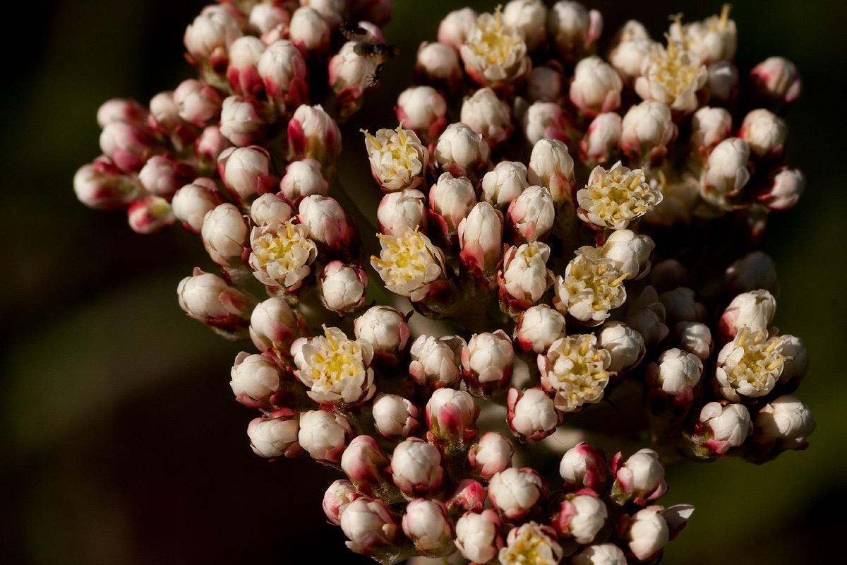 Helichrysum nudifolium var. oxyphyllum