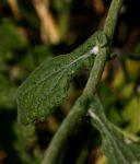 Helichrysum panduratum var. panduratum