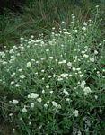 Helichrysum panduratum var. transvaalense