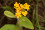 Helichrysum nudifolium var. pilosellum