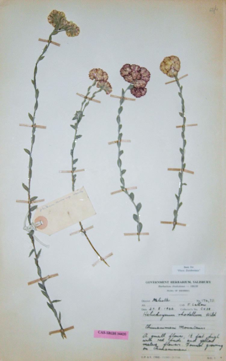 Helichrysum rhodellum