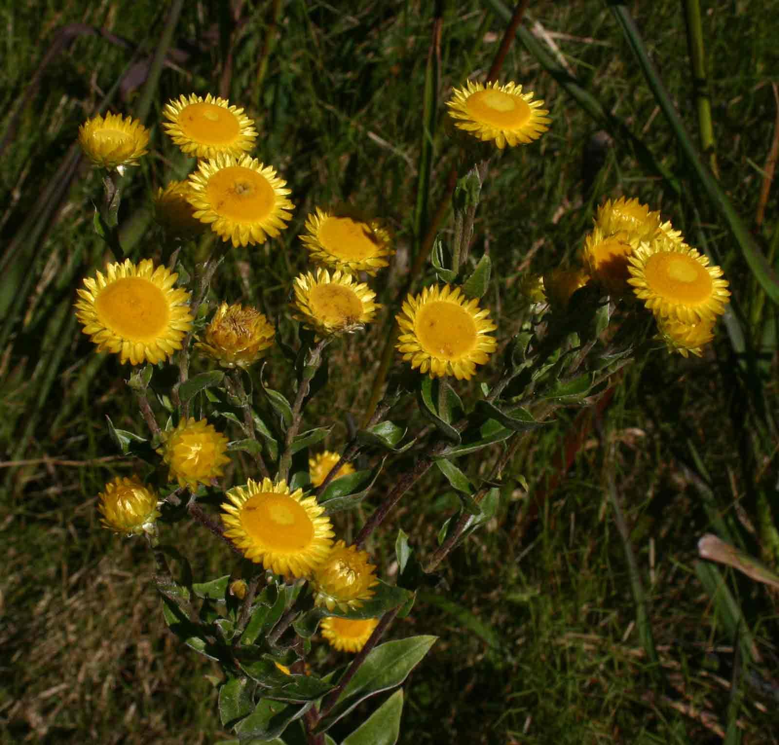 Helichrysum setosum