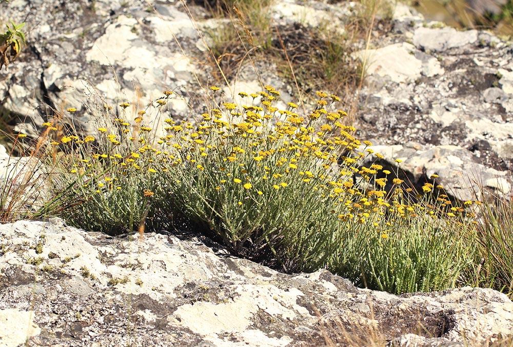 Helichrysum moorei