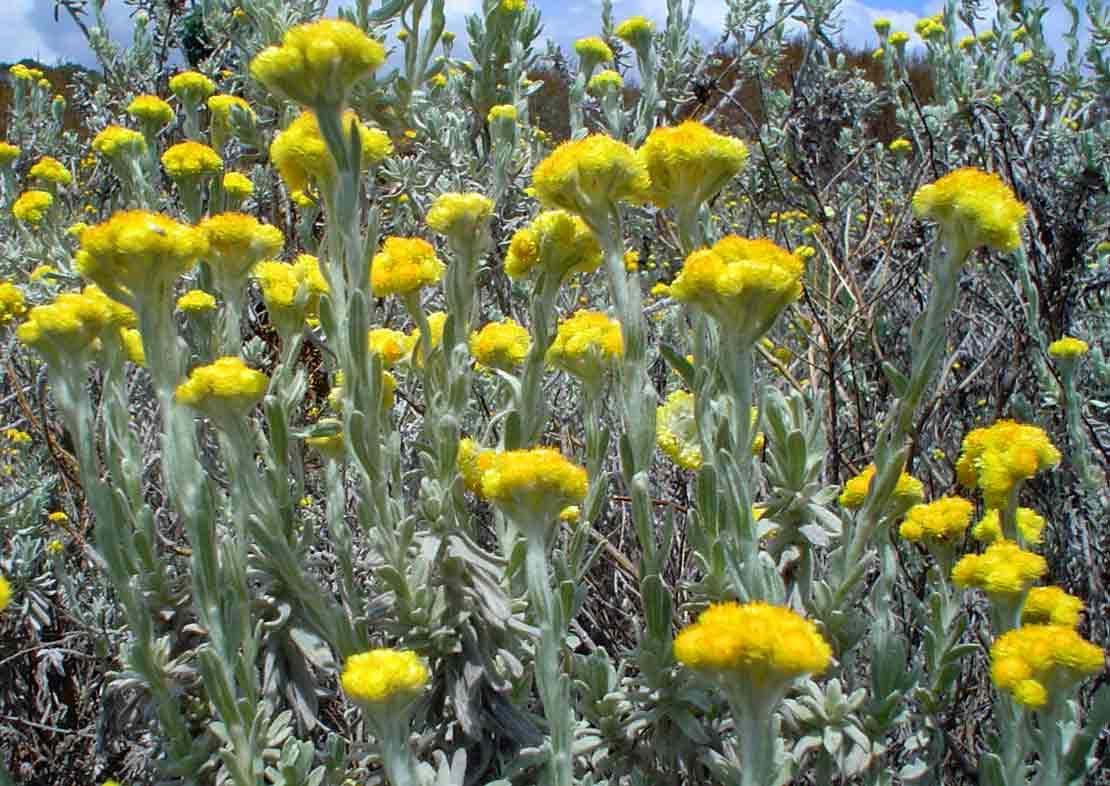 Helichrysum splendidum