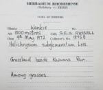 Helichrysum subglomeratum
