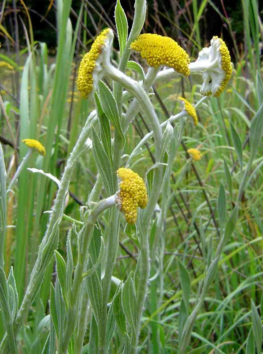 Helichrysum umbraculigerum