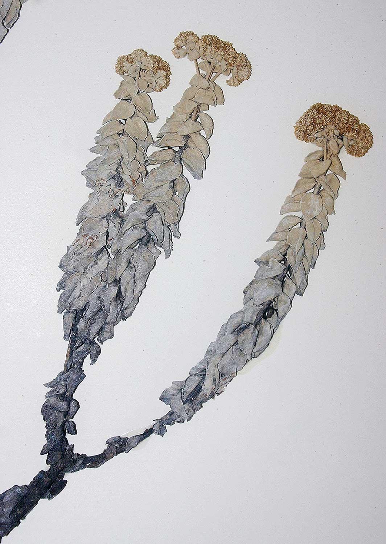 Helichrysum africanum