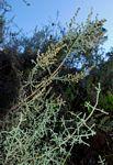 Stoebe vulgaris