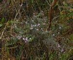 Athrixia rosmarinifolia var. rosmarinifolia