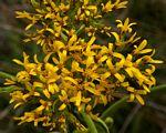 Inula paniculata