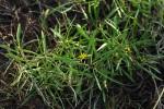 Geigeria africana subsp. ornativa