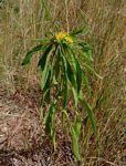 Geigeria schinzii subsp. rhodesiana