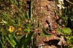 Anisopappus chinensis subsp. chinensis var. buchwaldii