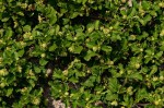 Acanthospermum australe