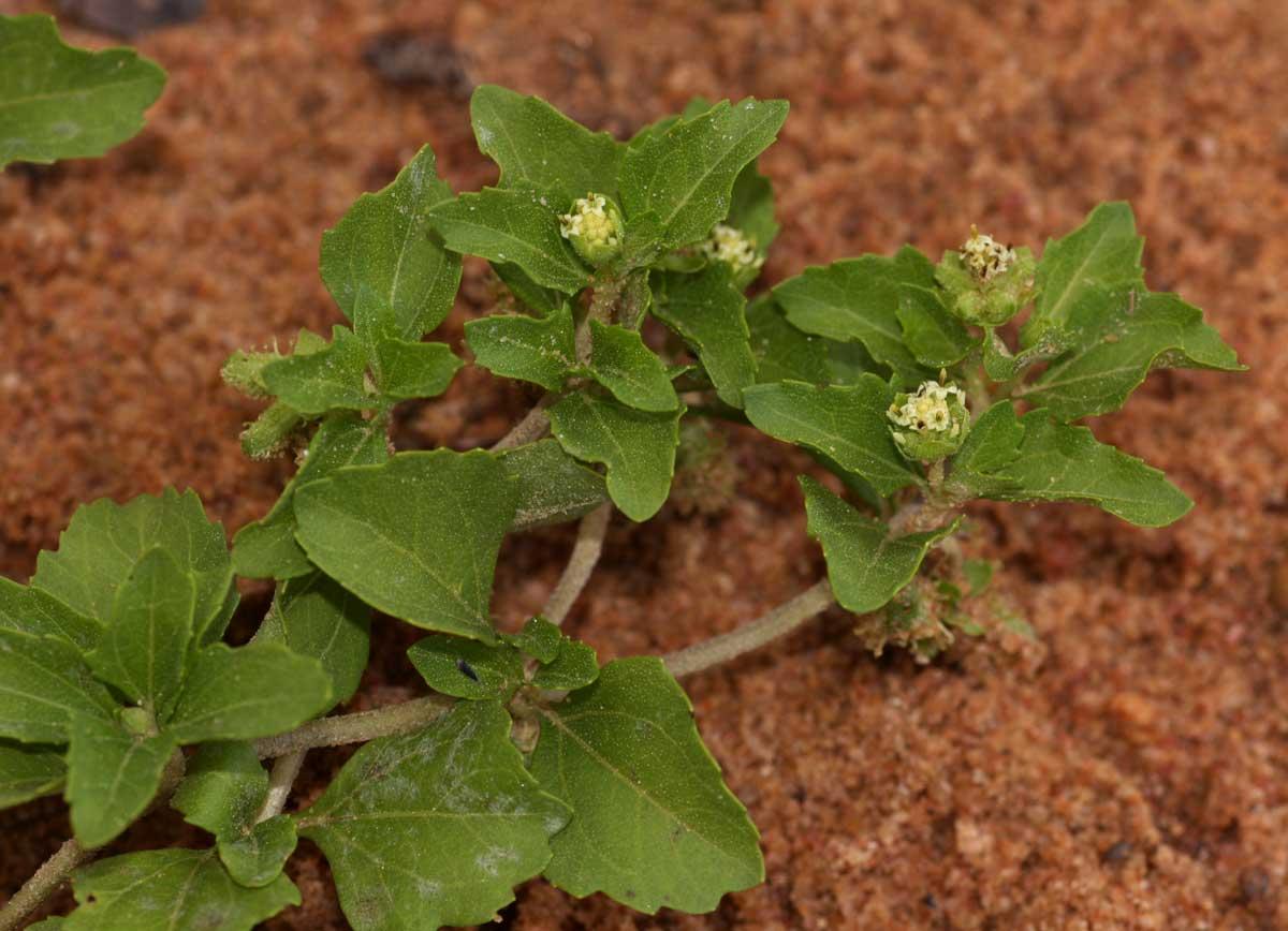 Acanthospermum glabratum