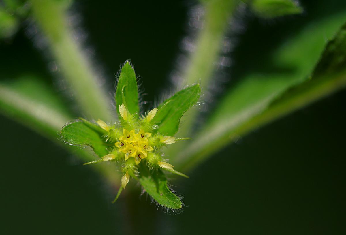 Acanthospermum hispidum