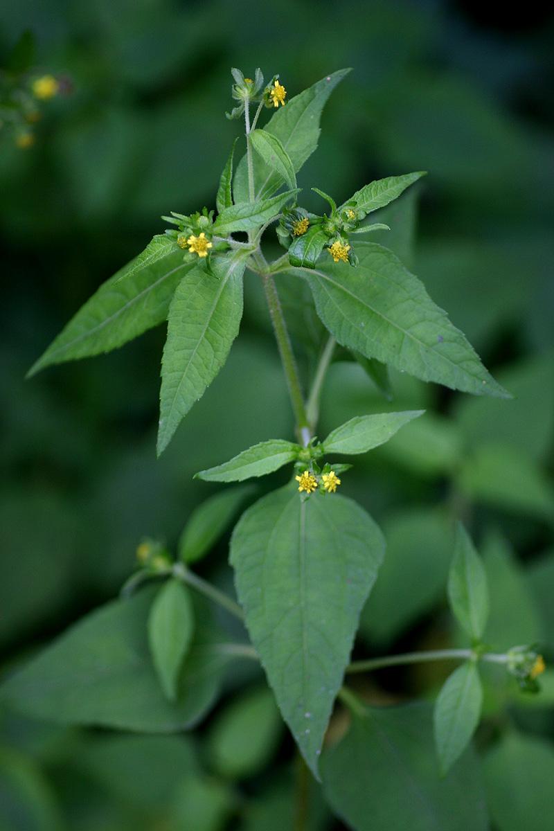 Sigesbeckia orientalis