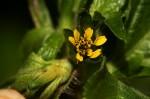 Sclerocarpus africanus