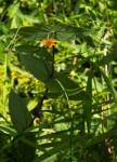 Aspilia mossambicensis
