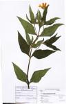 Aspilia natalensis