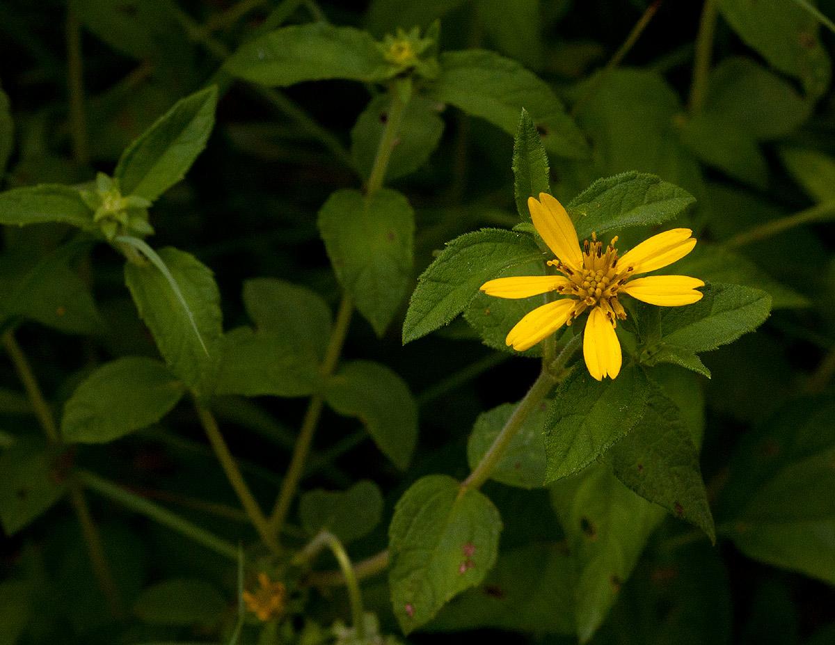 Aspilia pluriseta subsp. pluriseta