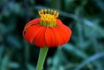 Tithonia rotundifolia