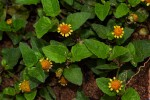 Spilanthes mauritiana