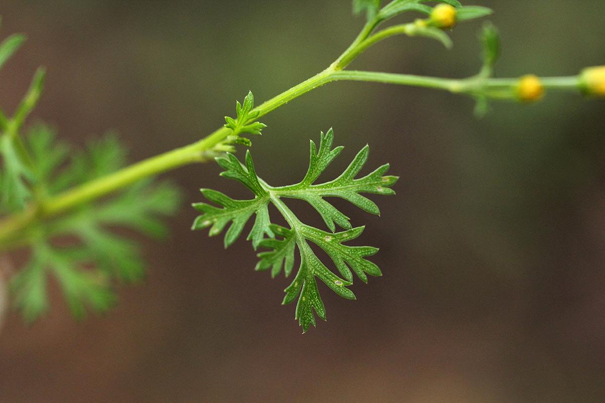 Chrysanthellum indicum subsp. afro-americanum