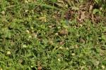 Tridax procumbens