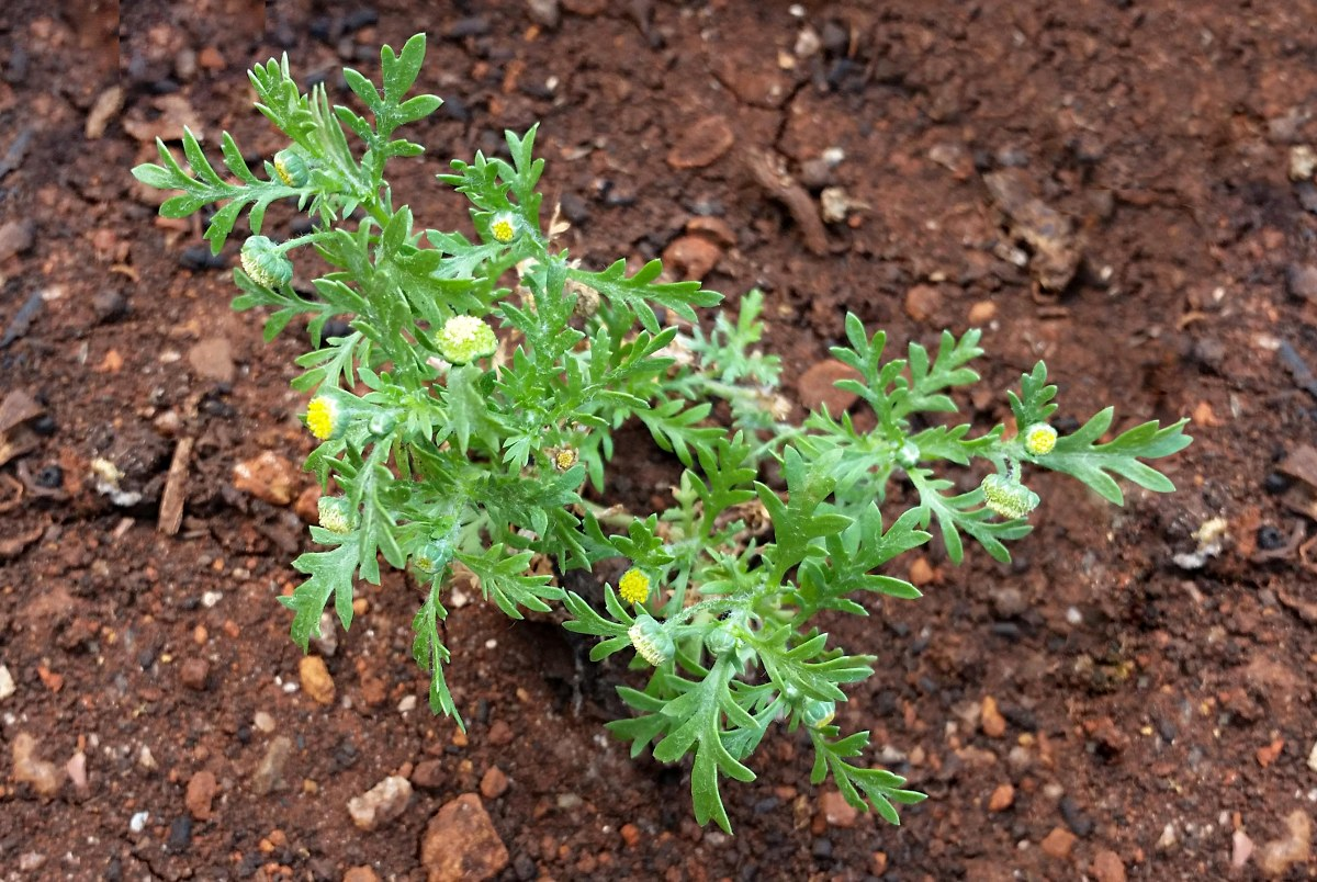 Cotula anthemoides