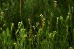 Schistostephium crataegifolium