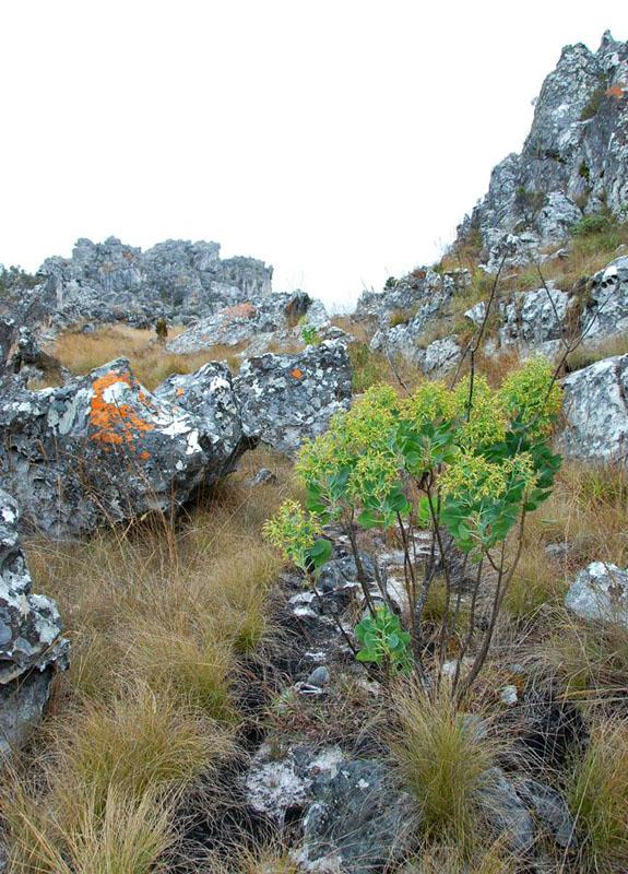 Lopholaena brickellioides