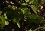 Crassocephalum rubens var. rubens
