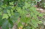 Solanecio angulatus