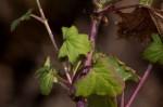 Cineraria deltoidea