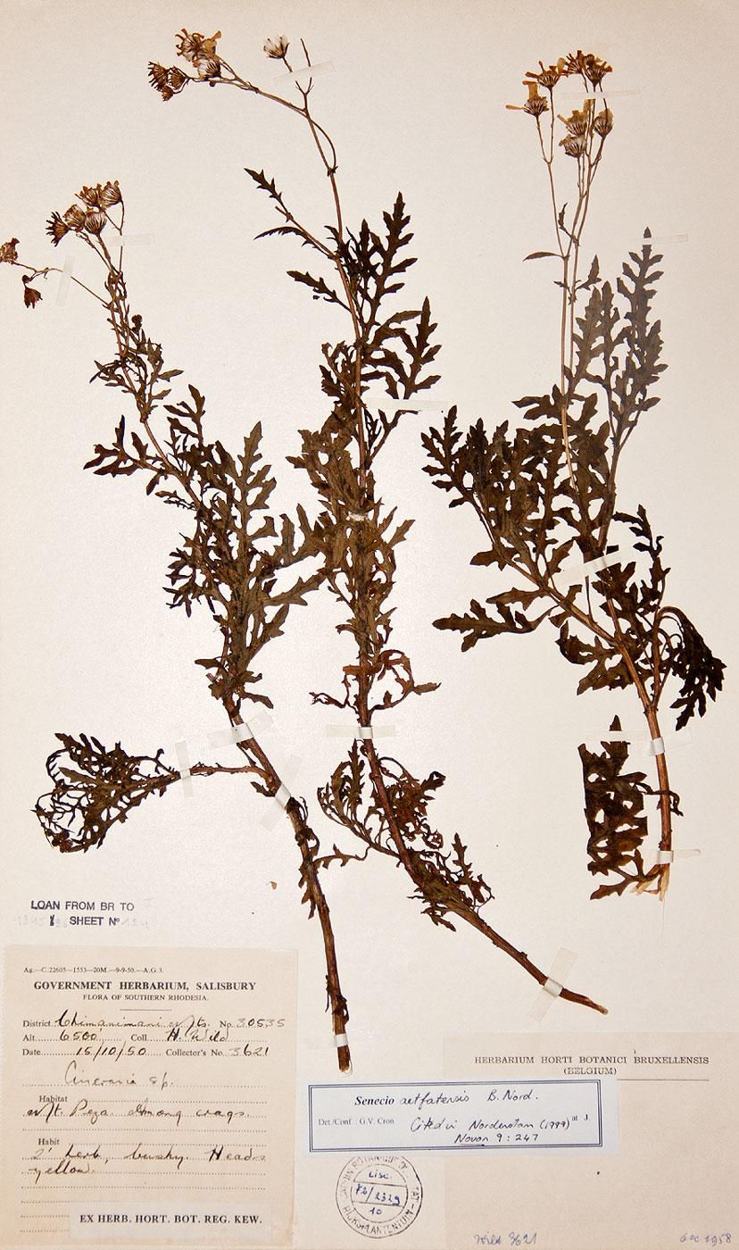 Senecio aetfatensis