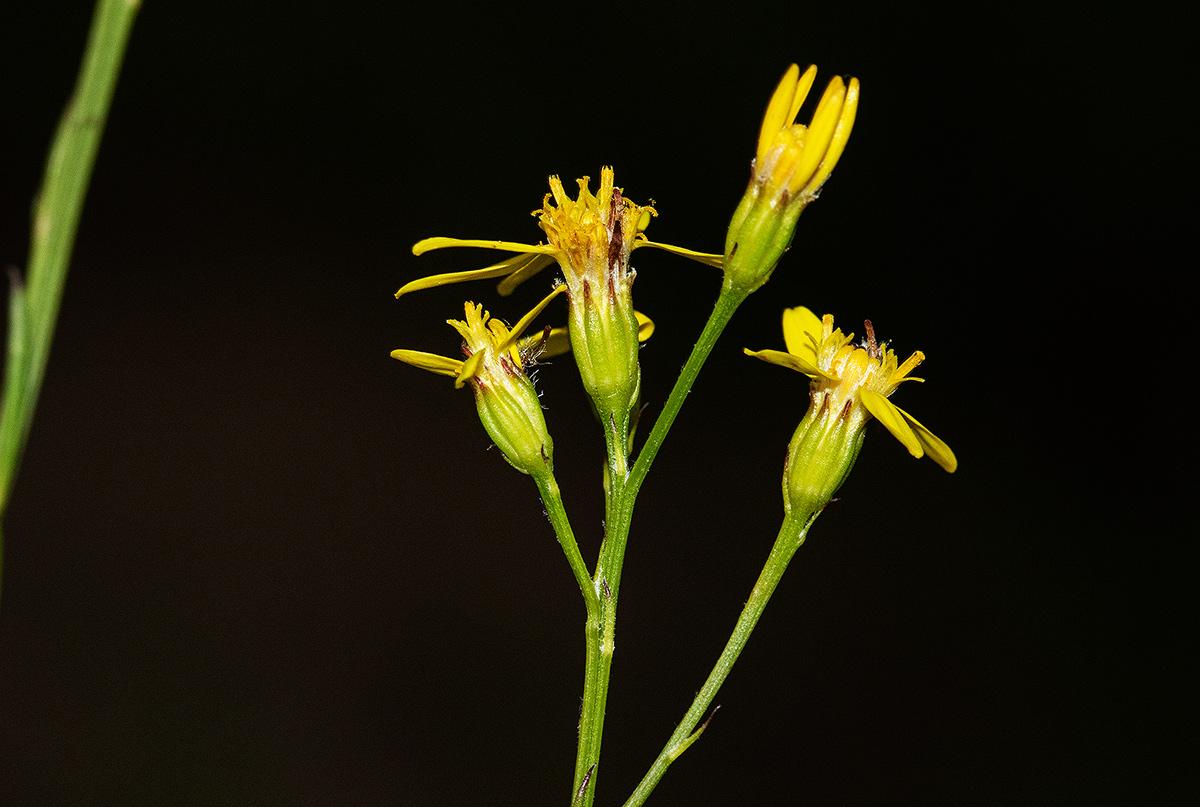 Senecio gazensis