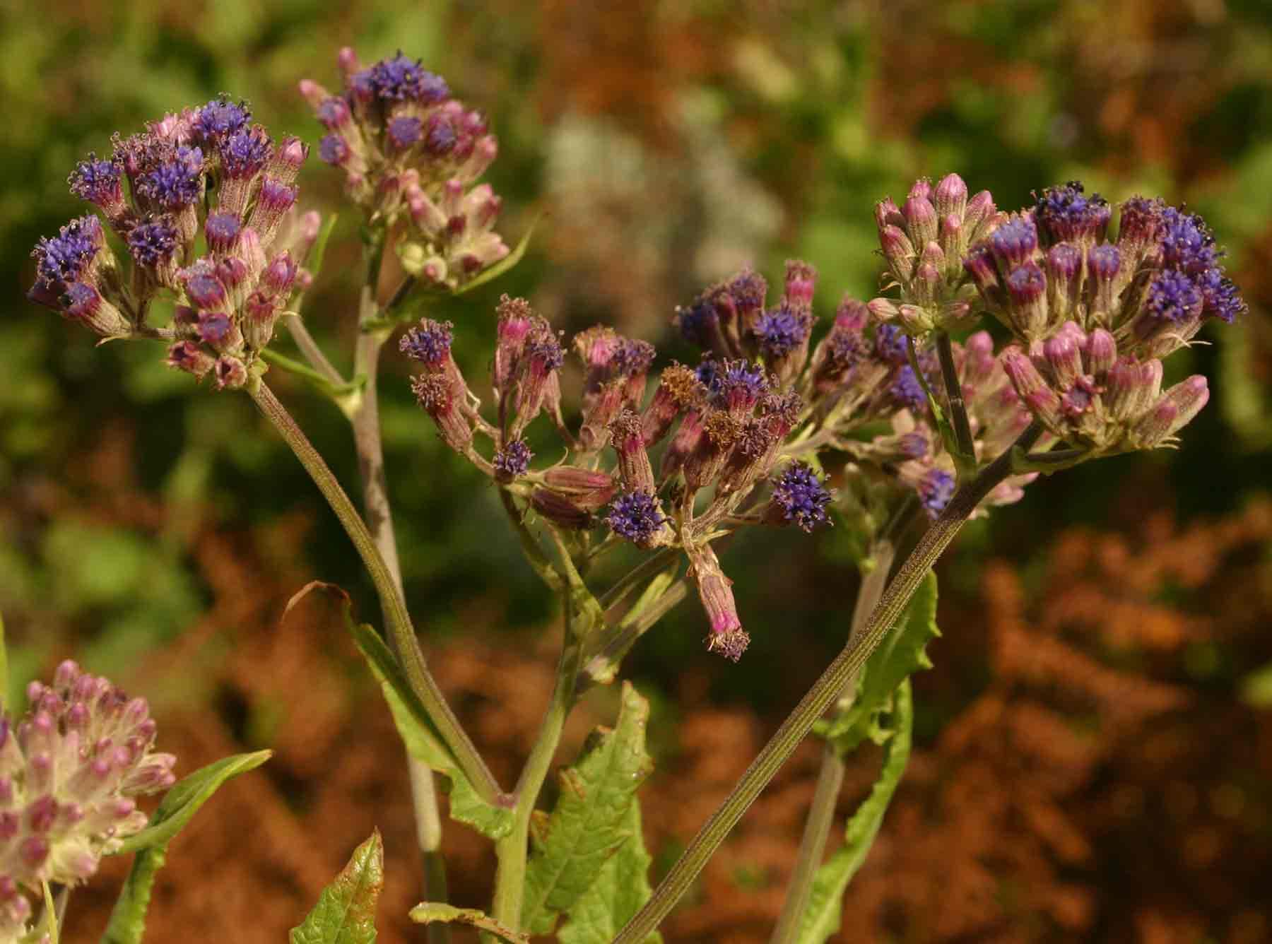 Senecio purpureus