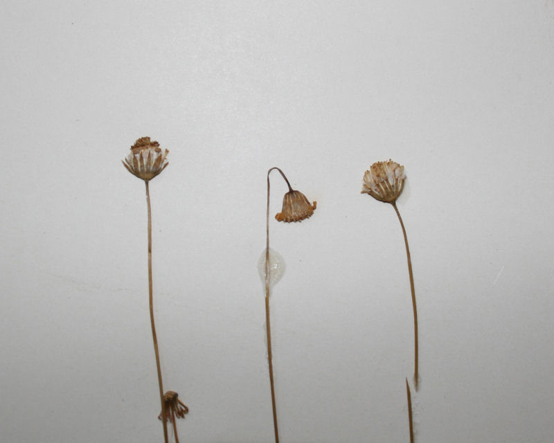 Emilia brachycephala