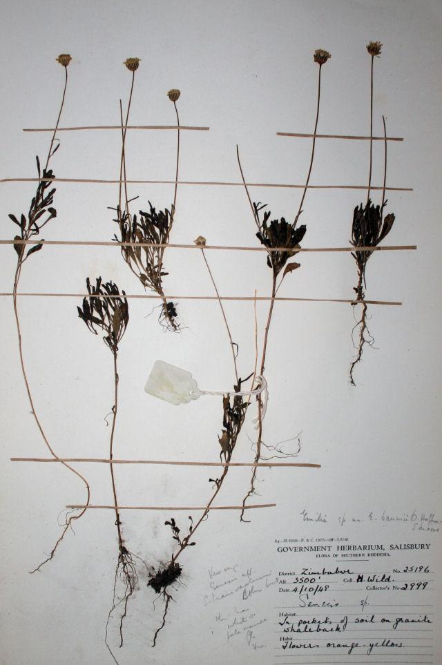 Emilia transvaalensis