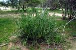 Kleinia longiflora