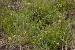 Osteospermum monocephalum