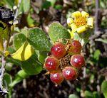 Chrysanthemoides monilifera subsp. septentrionale