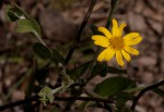 Chrysanthemoides monilifera subsp. septentrionale