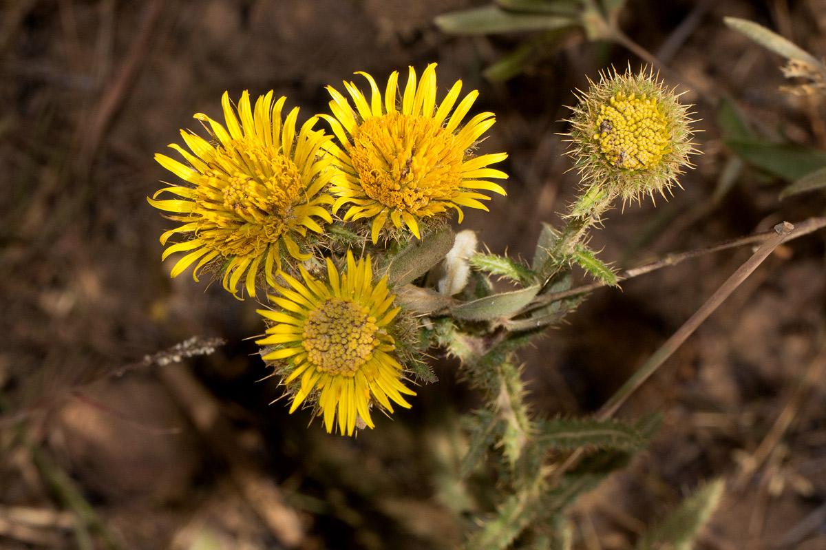 Berkheya echinacea subsp. polyacantha