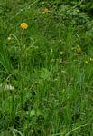 Berkheya radula