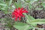 Pleiotaxis eximia subsp. eximia