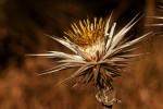 Macledium kirkii subsp. kirkii