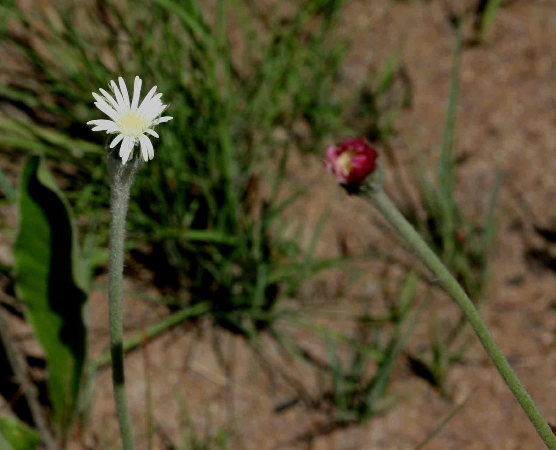 Gerbera piloselloides