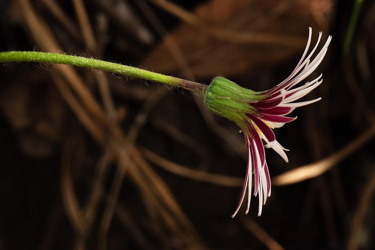 Gerbera viridifolia subsp. viridifolia